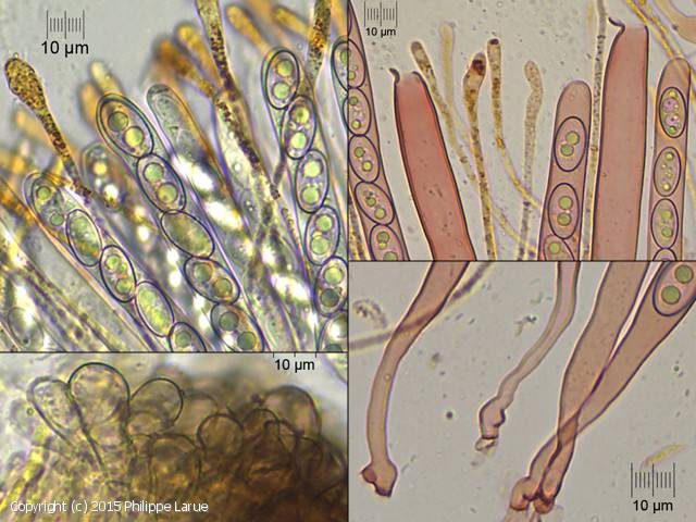 Anthracobia macrocystis (Anthracobia_macrocystis_2015_pl_2.jpg)