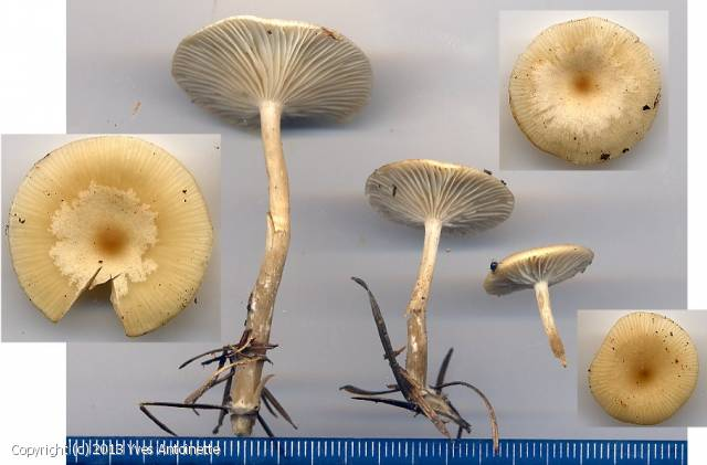 Clitocybe fuligineipes (Clitocybe_fuligineipes_2013_ya_1.jpg)