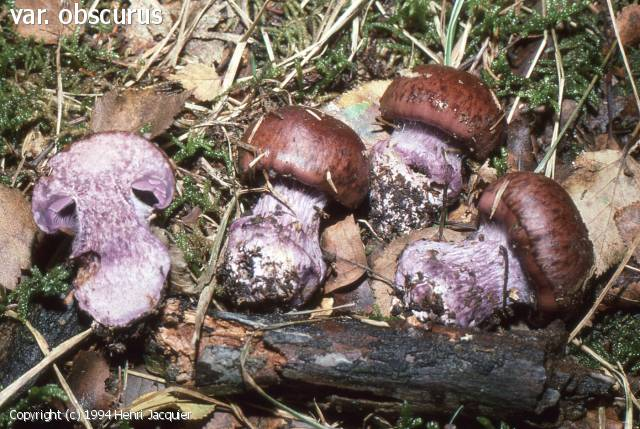 Cortinarius occidentalis (Cortinarius_occidentalis_1994_hj_1.jpg)